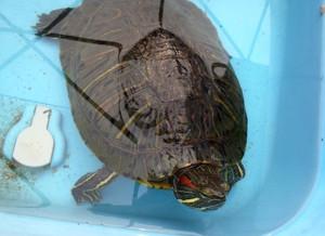 Escape_turtle