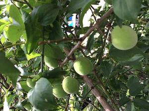 Apricot_at_mitaka_sta