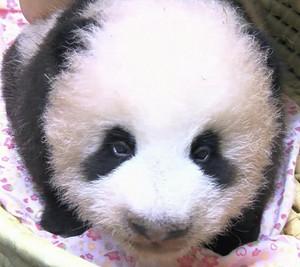 Panda_shan_shan