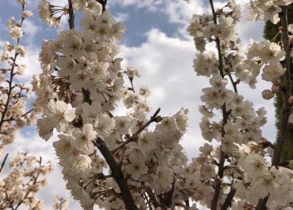 Chinese-cherry-bloss