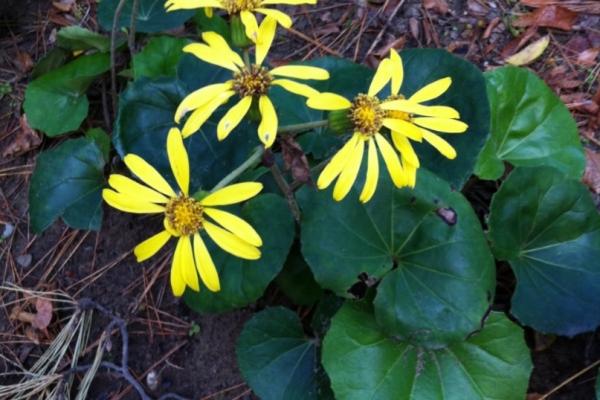 Tsuwabuki-flower